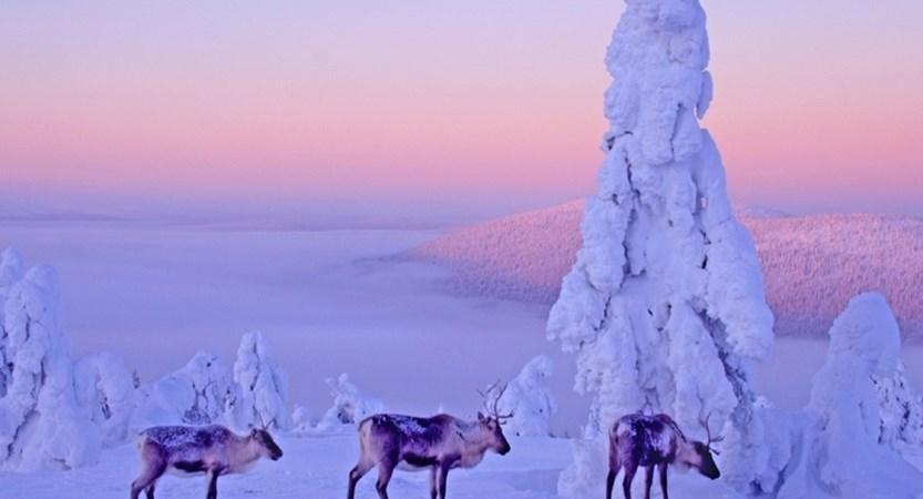 finland_lapland_levi_morning-mist-reindeers.jpg