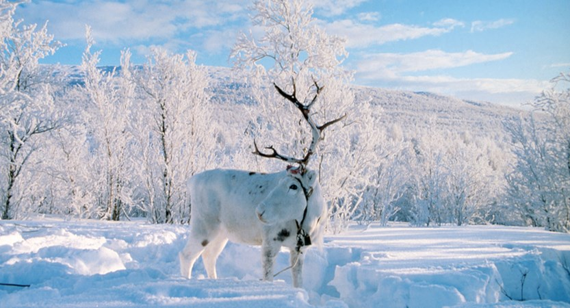 Finland_Levi_Reindeer.jpg