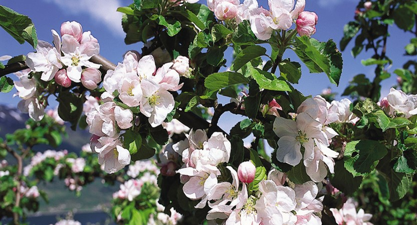 Norway_Ulvik_Blossom.jpg