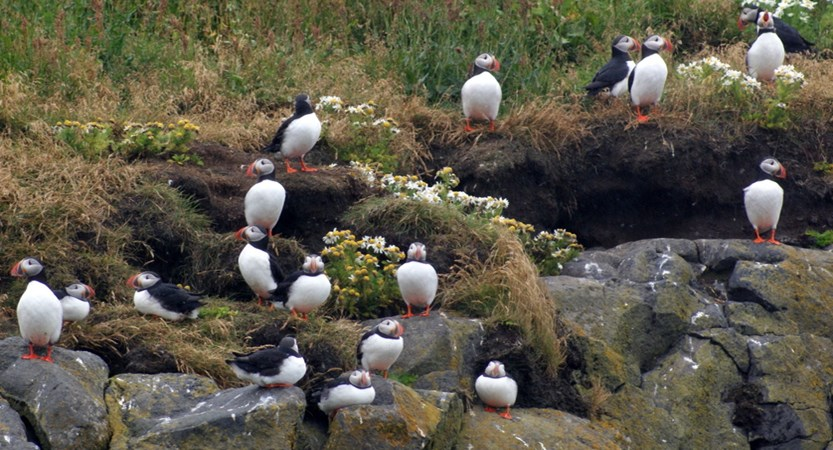 Puffins_South_Iceland.jpg