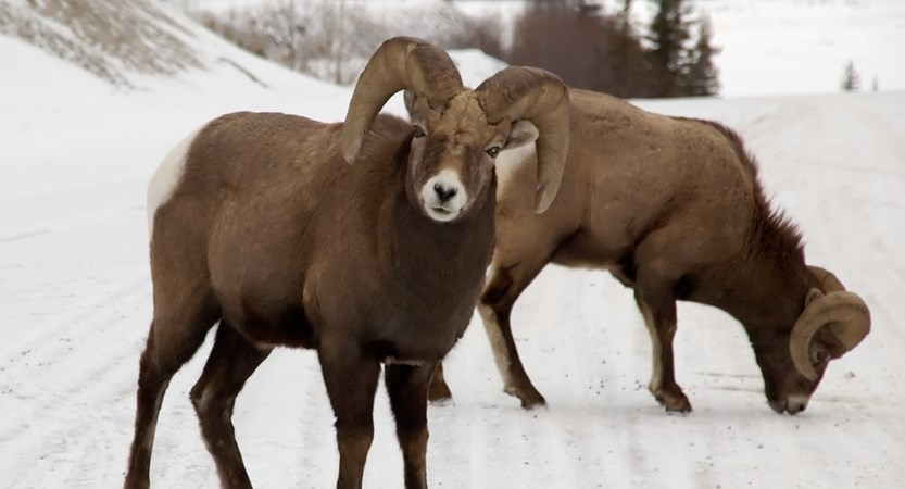 Marmot-Basin-Wildlife-2.jpg